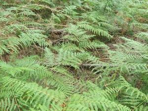 Fougère aigle web